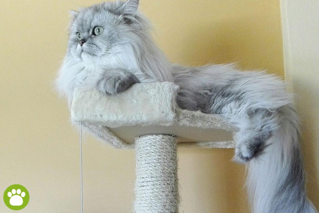 Jaki drapak dla dużego kota?