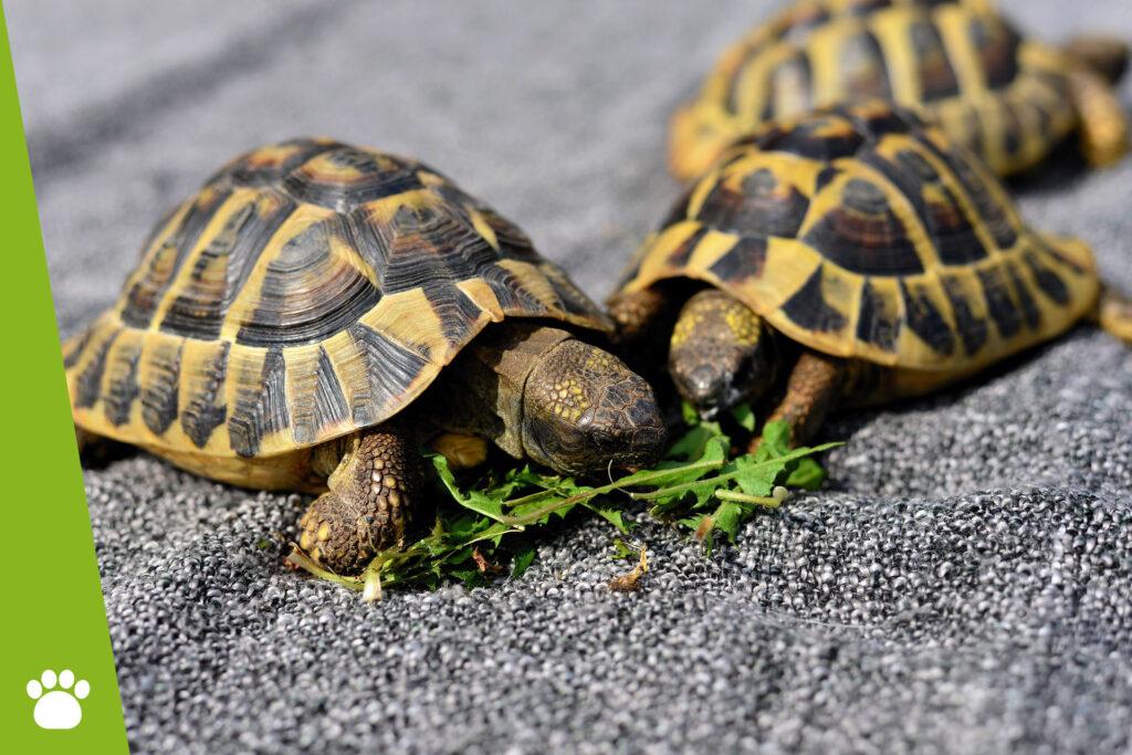 Co jedzą żółwie lądowe, wodne i stepowe?