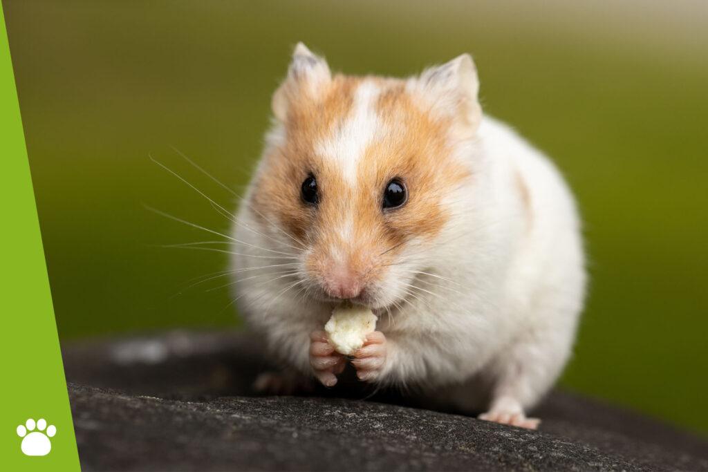 Co mogą jeść chomiki?