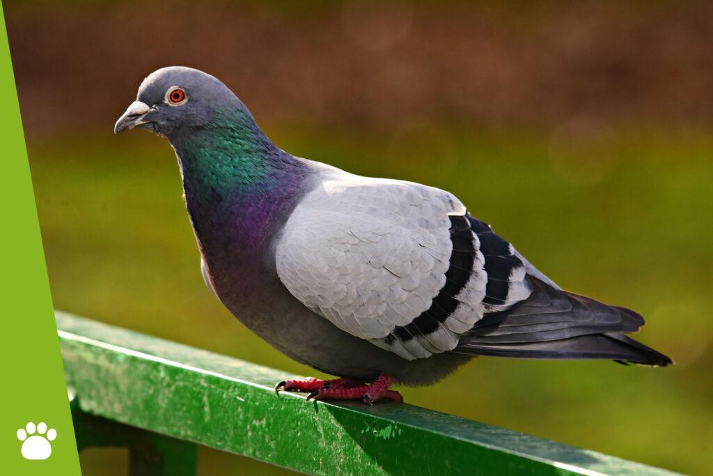 Jak odstraszyć gołębie z balkonu