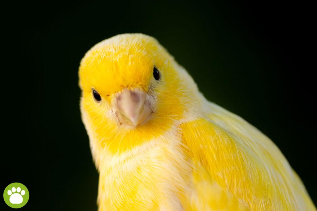 Czy da się oswoić kanarka?