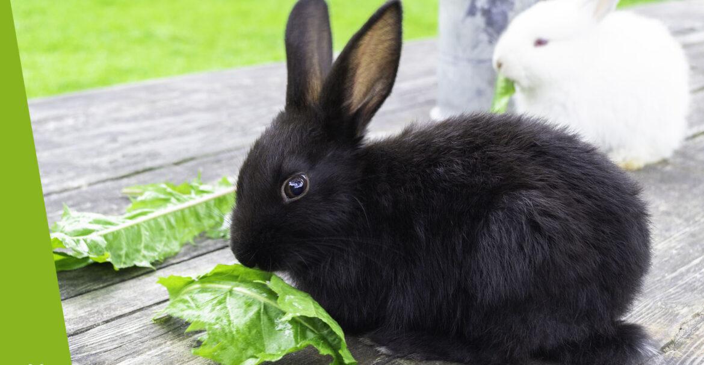Co jedzą króliki?