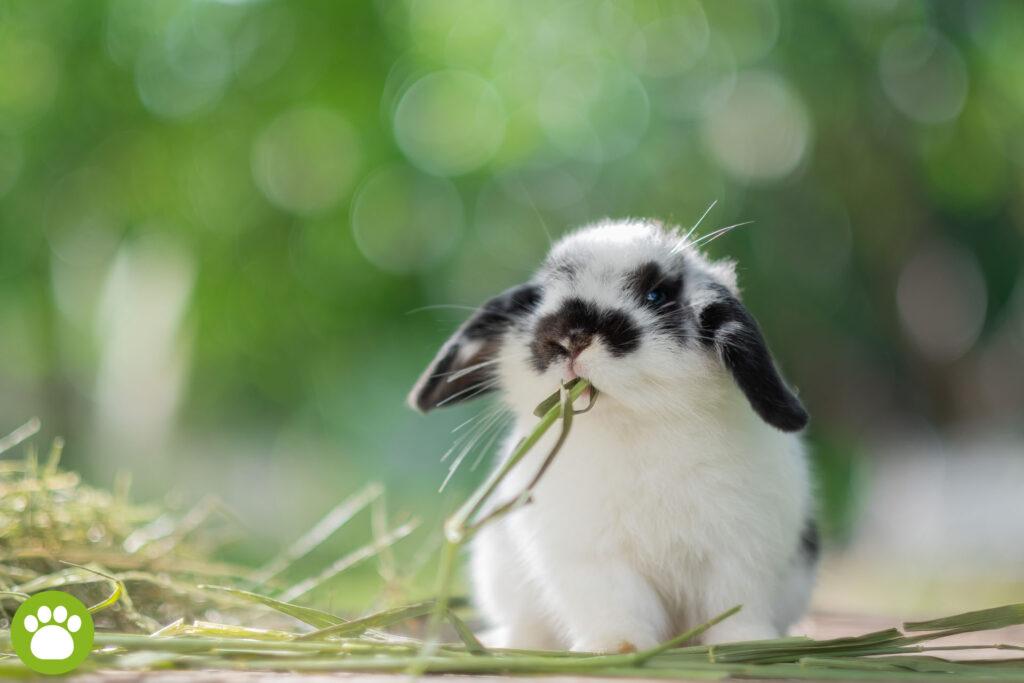Co jedzą króliki domowe?