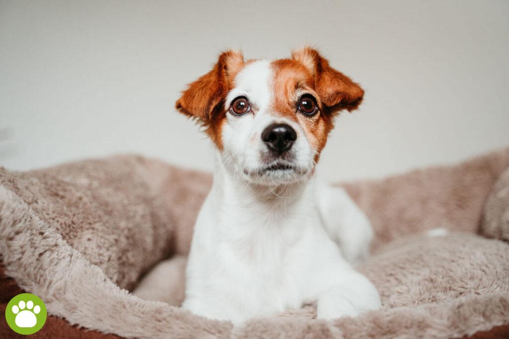 Jak dobrać rozmiar legowiska dla psa?