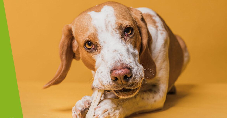 Czy pies może jeść kości?